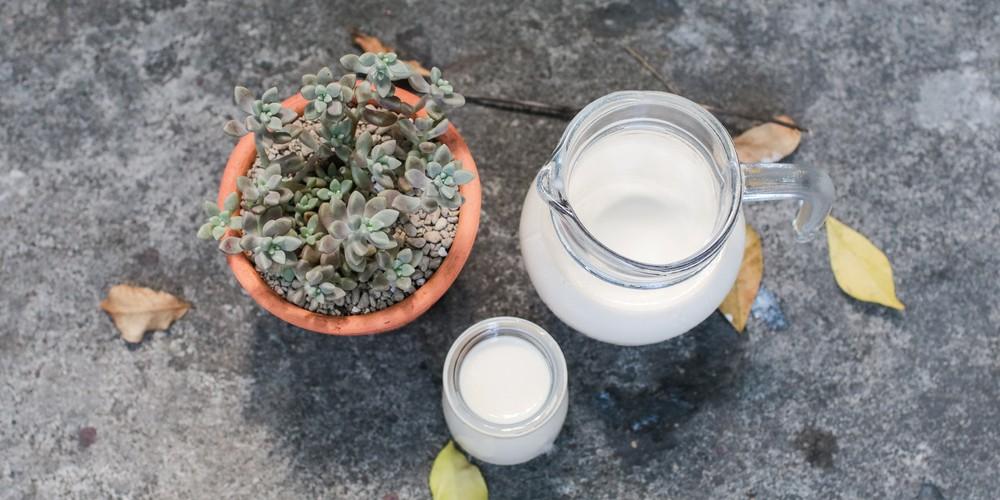 Milk bush Cactus Medicinal Plant