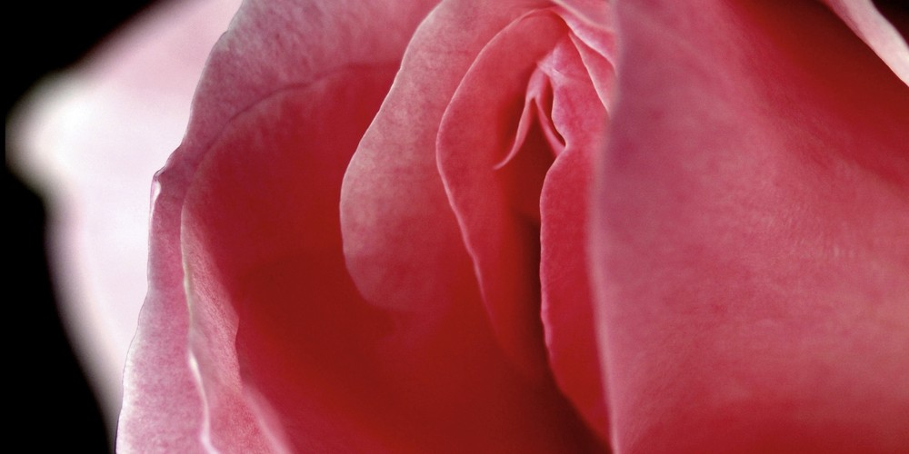 pink flower representing a woman's vagina