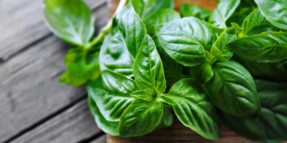 basil for ear ache