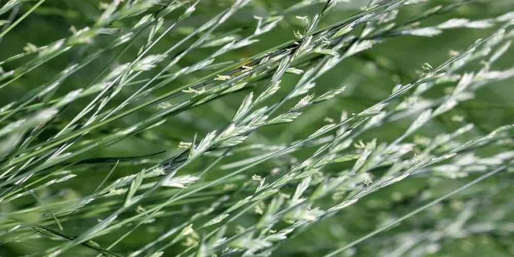 Rye grass pollen ectract