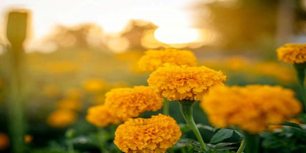 Marigold-home remedy for varicose veins