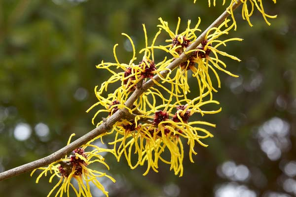 Witch hazel hanging