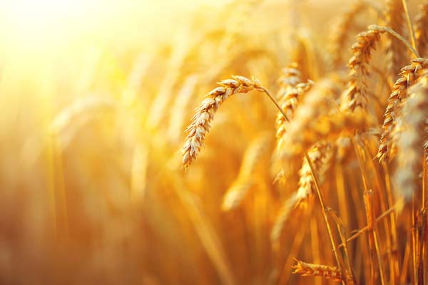 wheat with sunlight from behind
