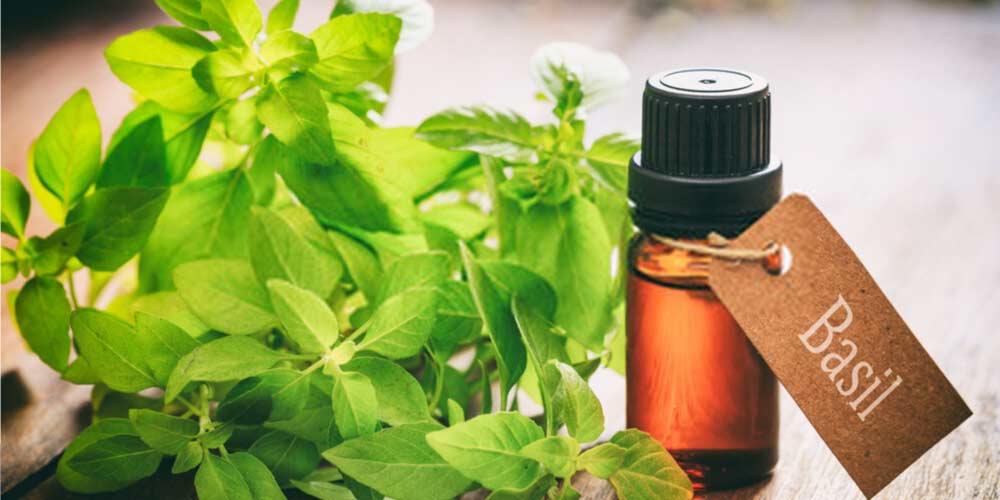 Basil oil-Essential-Oils-To-Treat-Ear
