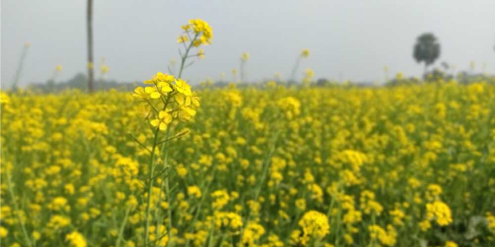 Mustard oil-Essential-Oils-To-Treat-Ear-Pain