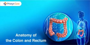 Anatomy of the colon and Rectum